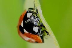 Eye to eye! 030814 DPP_0014 (clavius2) Tags: uk england north 7 spot east ladybird coccinella 7punctata