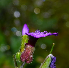 Tiny raindrops on Aubrieta flower (2jaysjoju) Tags: summer holiday flower macro rain wales garden droplets purple cottage aubrieta groundcoveringplant