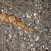 Southern Copperhead, Juvenile