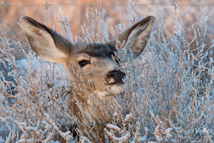Deer Doe samples the frost covered bushes