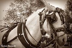 (Eleanna Kounoupa) Tags: blackandwhite horse sepia athens greece  kifissia historicalcenter blackwhitephotos    hccity