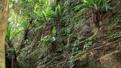 Asplenium harmanii (grandolebillyboy) Tags: asplenium borderranges aspleniaceae rainforestplant borderrangesnationalpark nswrfp arffern arfepiphyte aspleniumharmanii arflithophyte understoreyarfp