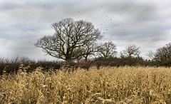 Oak tree and crows (Sheldrickfalls) Tags: uk england corn northamptonshire crows oaktree northants carrioncrow corvuscorone mielies wamington pwlandscape
