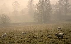 Winter Weald (Adam Swaine) Tags: uk winter england mist english animals rural canon countryside kent seasons sheep britain nt flock grazing scotney weald highweald swaine 2013
