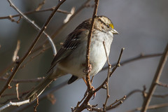White-throated Sparrow (Scott Alan McClurg) Tags: life winter wild cold tree bird nature animal yard forest back woods backyard wildlife neighborhood sparrow perch suburbs smallbirds songbird naturephotography perching whitethroated