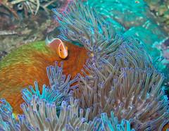 fish (TravelingShapy) Tags: orange fish underwater dive picture diving fisch anemone bild tauchen unterwasser
