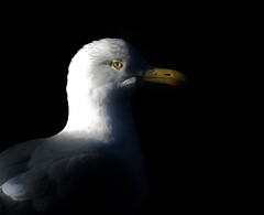 The Dark Side (Birdguy200) Tags: camera winter bird nature canon photography photo wildlife gull birding powershot photograph herring hs seabird herringgull nhti thedarkside birdphotography sx50