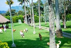 DSC_0045 (Dogs Resort Pereira) Tags: piscina jugar perros mascotas petit campestre guardera veterinaria pereira perrosjugando fotosdeperros maravillosomundo hotelparaperros perrosfelices dogsresort guarderaparaperros guarderacampestreparaperros hotelcampestreparaperros terapiaparaperros guarderayhotelcampestreparaperros caminatadeperros actividaddeperros