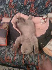 Sino es porque se lo que tengo es vagancia, me iría directamente al hospital (Frankness2008) Tags: españa fauna huesca movil gato patas celular aragon felino dormir mascota jaca iphone aragón