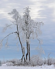 Frosty, The Tree Man (Carolyn Lehrke) Tags: trees winter usa snow cold frost hoarfrost frosty wv photoart lehrke ilobsterit coldknobmt