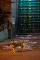 Dog (TAZMPictures) Tags: india night chennai pongal bhogi kolam rangoli triplicane