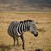 Zèbre dans le Ngorongoro