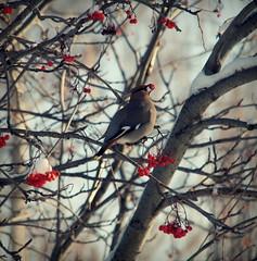tossing a few back (free spirit *) Tags: winter bird feeding migration waxwing fruittree aroundtheyard