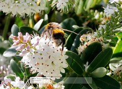 I am so looking forward to Summer! (doublejeopardy) Tags: plant flower garden blossom bumblebee