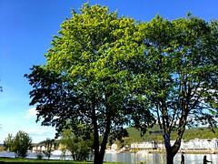 #Ahorn #Acer (RenateEurope) Tags: trees nature river germany acer nrw rhine rhein rheinland 2016 ahorn iphoneography renateeurope ipadair2
