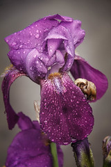 Rain Drop Iris (http://fineartamerica.com/profiles/robert-bales.ht) Tags: flowers blue iris people plants flower green nature sunshine rain yellow closeup wow spectacular one photo spring stem flora purple superb blossom flag violet peaceful places drop flags petal idaho dew baskets bloom bulbs states blossoming inspirational botany bearded tranquil isolated emmett magnificent inspiring flowerarrangement haybales facebook stupendous iphone flowerhead flowerbulbs cutflowers cutflower flowerspikes perianth rhizomes bisexualflowers inferiorovary perennialherbs photouploads robertbales
