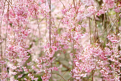 - Weeping cherry tree (shig.) Tags: flowers trees plants plant flower tree canon cherry eos blossom outdoor  sakura cherryblossoms  cherrytree 70d
