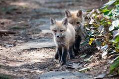 Deux petits aventuriers (Little explorers) (Joanne Levesque) Tags: nature animals montreal wildlife kits animaux botanicalgarden jardinbotanique redfox faune renardeau nikond90 renardroux