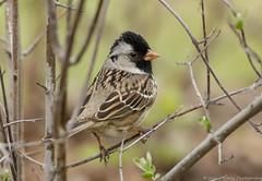 Harris Sparrow         _MG_6046 (will Joudrey) Tags: windy sparrow harris fortwhytealivewinnipeg