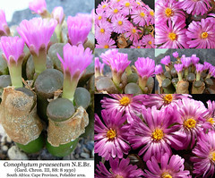 Conophytum praesectum (collage) (Succulents Love by Pasquale Ruocco (stabiae)) Tags: collage southafrica succulent mesembryanthemum mimicry succulents stabiae mimetismo piantegrasse aizoaceae succulente mesembryanthemaceae conophytum cactusco mesembs praesectum pasqualeruocco mesembryanthema succulentslove forumcactusco