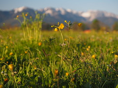 Spring Meadow Wild Flower Bavaria - Frhling Blume Bayern (hn.) Tags: wild copyright mountain plant mountains alps flower nature berg field butterfly germany bayern deutschland bavaria spring flora heiconeumeyer europa europe buttercup gaissach natur oberbayern tlzerland upperbavaria pflanze feld meadow wiese eu berge alpine pasture wildflowers thealps alpen blume wildflower blte ranunculaceae frhling gebirge mountainrange oberland copyrighted springflower bergig butterblume mountainous wildblumen butterblumen wildblume voralpen forealps voralpenland frhlingsblume landkreisbadtlzwolfratshausen gaisach hahnenfusgewchs hahnenfusgewchse badtlzwolfratshausen