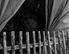 ||Lion In A Cage|| (SouvikMetiaPhotography) Tags: street morning blackandwhite monochrome fence nikon asia flickr lion streetphotography documentary cage pale canvas streetphoto blacknwhite kolkata claymodel kumartuli kumortuli