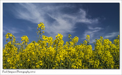 Lincolnshire Sky (Paul Simpson Photography) Tags: nature field yellow bluesky lincolnshire naturalworld oilseedrape beautifulnature photosof imageof photoof imagesof paulsimpsonphotography may2016