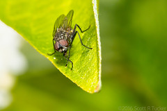 Even Flies Like To Clean Up (raypainter) Tags: portrait macro green nature animals canon bug outdoors fly spring colorado wildlife insects bugs micro arthropod diptera ef100mm scotttucker microfauna tinygame hfdf eos70d raypainter