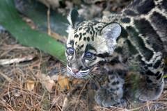 Lowry Park Zoo: Aiya & Shigu (clouded leopard cubs) (Jasmine'sCamera) Tags: park animal animals tampa zoo leopard cubs lowry clouded cloudedleopard lowryparkzoo
