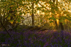 """Ray's of Blue""- Bluebells. (norfolk jem..) Tags: morning blue trees sun leaves bluebells sunrise woodland early woods rays scented hyacinthoides nonscripta"