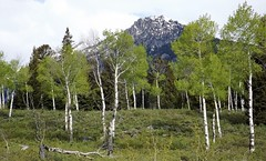 2016 05 19 Grand Teton national Park 22a (omigosz) Tags: mountain tree wyoming grandtetonnationalpark