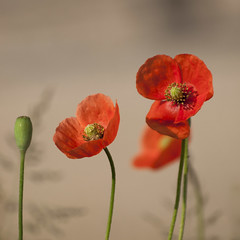 Ballet d'ouveture (Titole) Tags: squareformat poppies wildflowers shallowdof titole nicolefaton