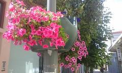 Στην Ανδρέου Λόντου στο Αίγιο  20160607_163129 (amalia_mar) Tags: αίγιο λουλούδια φυτά διακόσμηση ροζ
