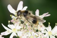 Hoverfly- Cheilosia illustrata (linanjohn) Tags: uk macro nature wildlife insects lincolnshire syrphidae diptera hoverflies eristalinae cheilosiaillustrata