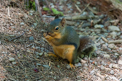 Squirrel (Valeriy T) Tags: nature animals squirrel rattlesnakelake
