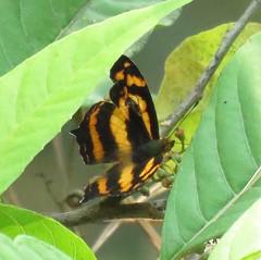 Symbrenthia lilaea khasiana, Common Jester (Birdernaturalist) Tags: nepal butterfly nymphalidae nymphalinae richhoyer
