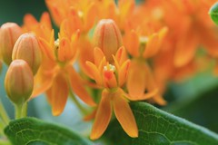 Butterfly Weed (Asclepias tuberosa) [2] (In The Mind Of Nature (Plantae)) Tags: flowers plant nature minnesota petals foliage indianpaintbrush butterflyweed orangemilkweed asclepiastuberosa minneapolisminnesota pleurisyroot silkyswallowwort butterflylove orangeroot perennialplant butterflymilkweed indianposy canadaroot chiggerflower minnesotawildflowers fluxroot orangeswallowwort tuberroot yellowmilkweed whiteroot windroot chiegerflower inthemindofnature northamericannativeplantspecies