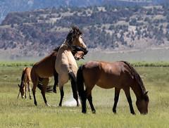 Wild Mustangs - 01     (Explored) (cheryl strahl) Tags: california wild horses mountains fighting mustangs easternsierra