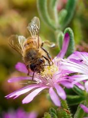 _1010643 (Asciutto Francesco) Tags: macro olympus ape fiore polline