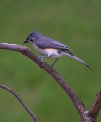 TuftinTitmouse1 (holleyc) Tags: titmouse outdoorsbirdscannon