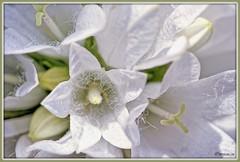 _JVA7645_DxO (mrjean.eu) Tags: park pink blue white france flower macro fleur rose yellow fleurs jaune garden rouge nikon jardin vert bleu botanic lorraine botanique parc metz 105mmf28 flowerws grteen