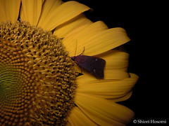 Helianthus annuus (Shiori Hosomi) Tags: flowers plants japan night tokyo nocturnal nightshot moth july insects   asteraceae    helianthus 2016      asterales   noctuary    flowersinthenight noctivagant  23    entomon