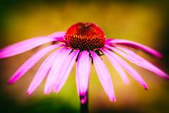 The Only Road I Walk Alone (Thomas Hawk) Tags: california flowers usa flower america berkeley unitedstates fav50 unitedstatesofamerica eastbay botanicalgarden fav10 fav25 ucbotanicalgardenatberkeley
