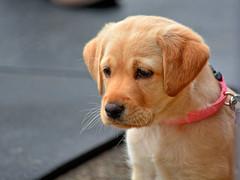 dog pet cute animal oregon puppy nikon lab yellowlab wife leash hdr philomath kirt philomathoregon gaylene easyhdr edblom nikond7100 kirtedblom