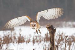 Week 47/52- Blur (martinaschneider) Tags: winter raptor owl barnowl birdsofprey birdofprey 52weeksthe2014edition week472014 weekstartingwednesdaynovember192014