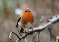 Robin (eric robb niven) Tags: autumn winter robin scotland dundee wildlife dunkeld wildbird ericrobbniven pentaxk50