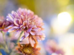 PB290194-EM5-Schneider 25mm F1.4 (JaS Photoland) Tags: flower olympus macau schneider cmount olympusomdem5 schneider25mmf14cmount