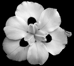 Flor da calçada (joaobambu) Tags: 2005 iris brazil blackandwhite bw stilllife white flower deleteme macro topf25 beautiful topv111 closeup brasil topv2222 contrast canon petals interestingness top20bw interesting topf50 topv555 topv333 topf75 perfect peace deleteme10 topv1111 topc50 flor topv999 peaceful blumen topv5555 blackground innocence topv777 fav bianca delicate topf125 tao topf100 topf15 iridaceae marília topf65 taoteching interestingness29 imagekind
