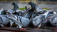 Pigeons (phil1496) Tags: pigeons interdiction streetview flagey nuisance