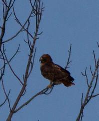 Red-tail (jforb) Tags: unitedstates hawk lexington massachusetts redtailedhawk buteojamaicensis buteo accipitridae accipitriformesaccipitriformesaccipitriformes